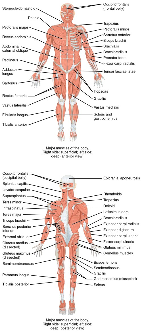 small resolution of the top panel shows the anterior view of the human body with the major muscles labeled figure 1