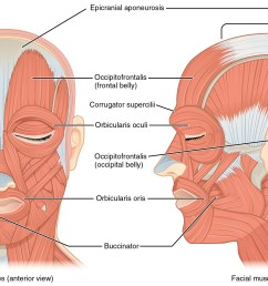the left panel in this figure shows the anterior view of the facial muscles and [ 2407 x 1460 Pixel ]