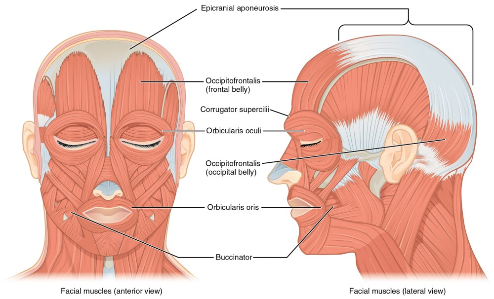 medium resolution of the left panel in this figure shows the anterior view of the facial muscles and