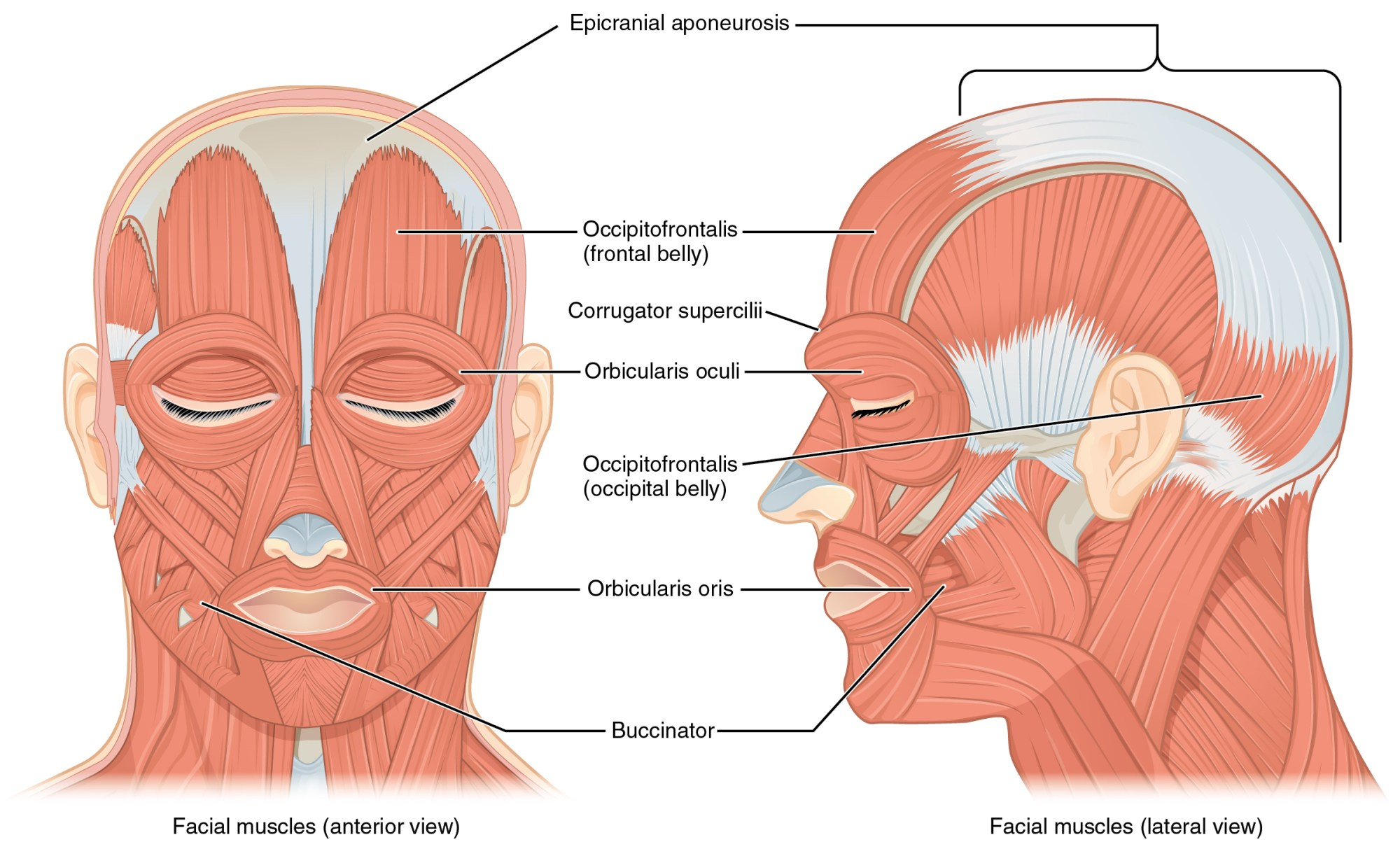 hight resolution of the left panel in this figure shows the anterior view of the facial muscles and