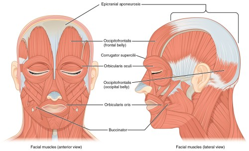 small resolution of the left panel in this figure shows the anterior view of the facial muscles and