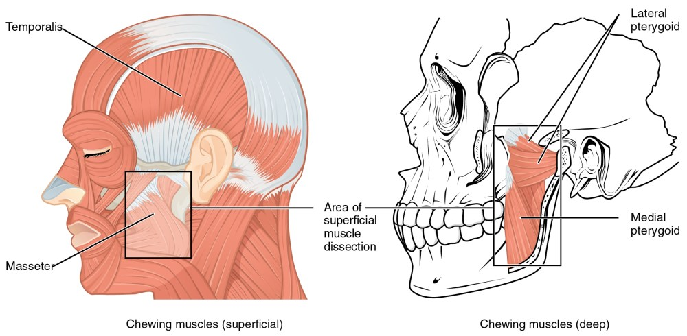 medium resolution of the left panel of this figure shows the superficial chewing muscles in face and the