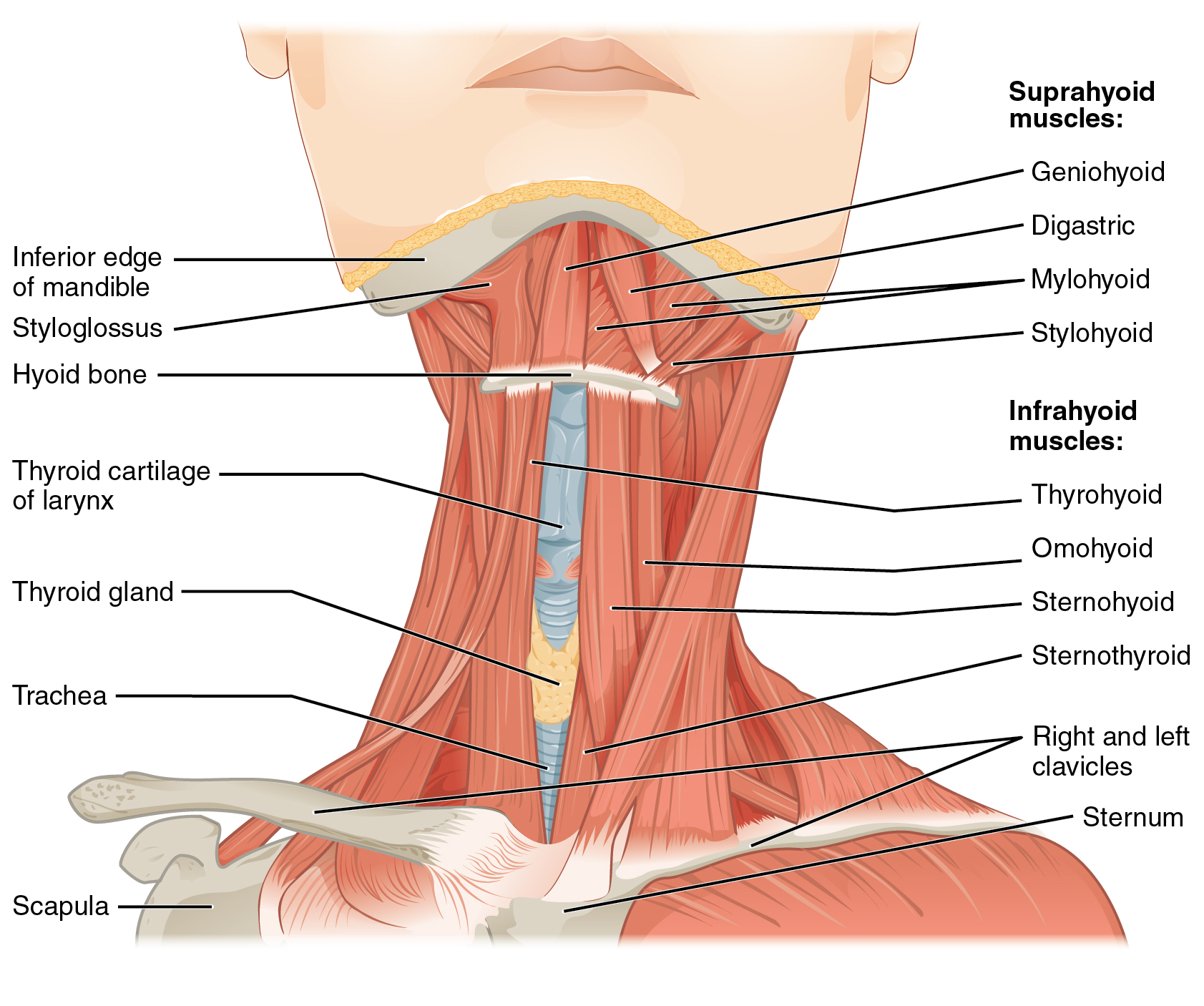hight resolution of this figure shows the front view of a person s neck with the major muscle groups labeled