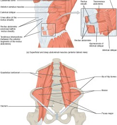 muscles of the abdomen [ 1046 x 1351 Pixel ]
