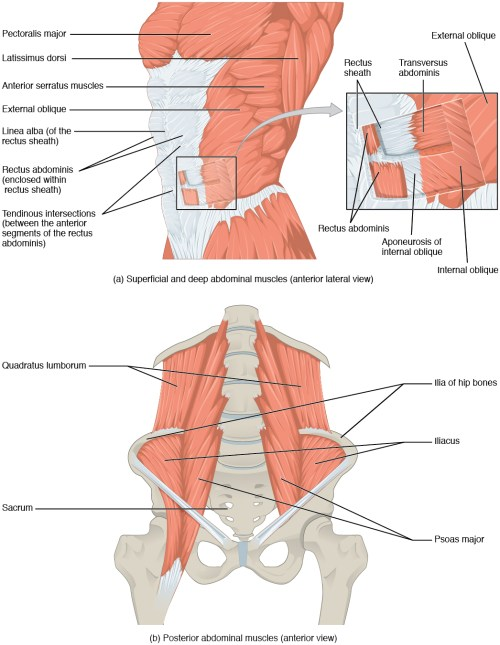 small resolution of muscles of the abdomen
