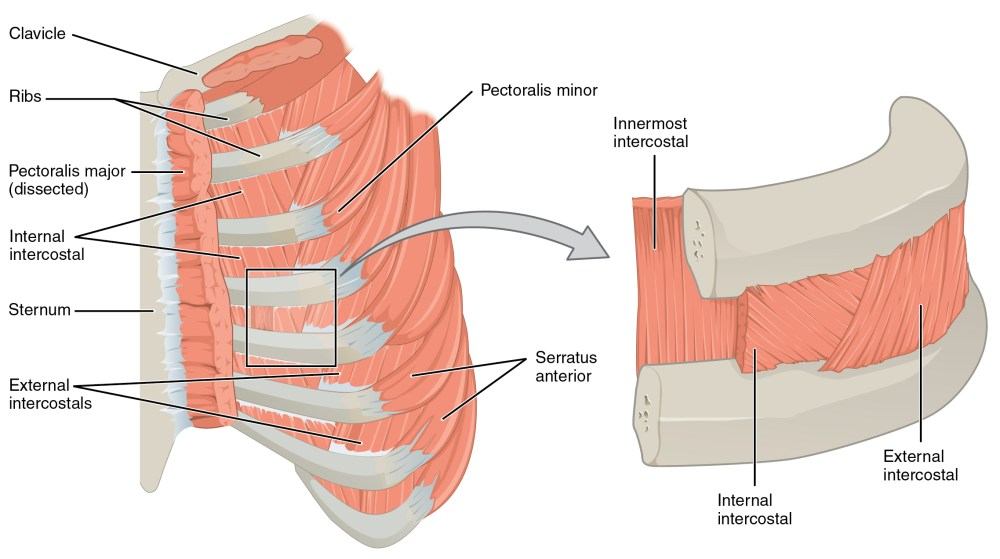 medium resolution of this figure shows the muscles in the thorax the left panel shows the ribs