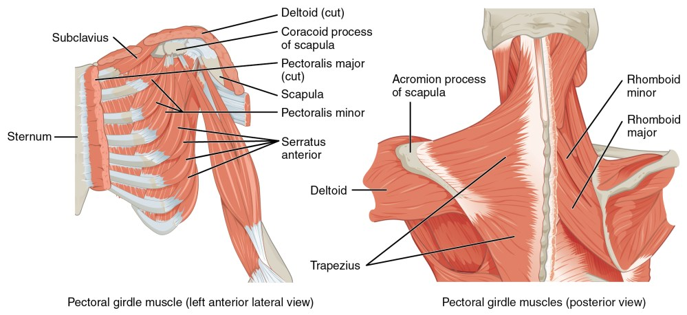 medium resolution of the left panel shows the anterior lateral view of the pectoral girdle muscle and the