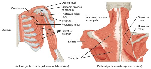 small resolution of the left panel shows the anterior lateral view of the pectoral girdle muscle and the