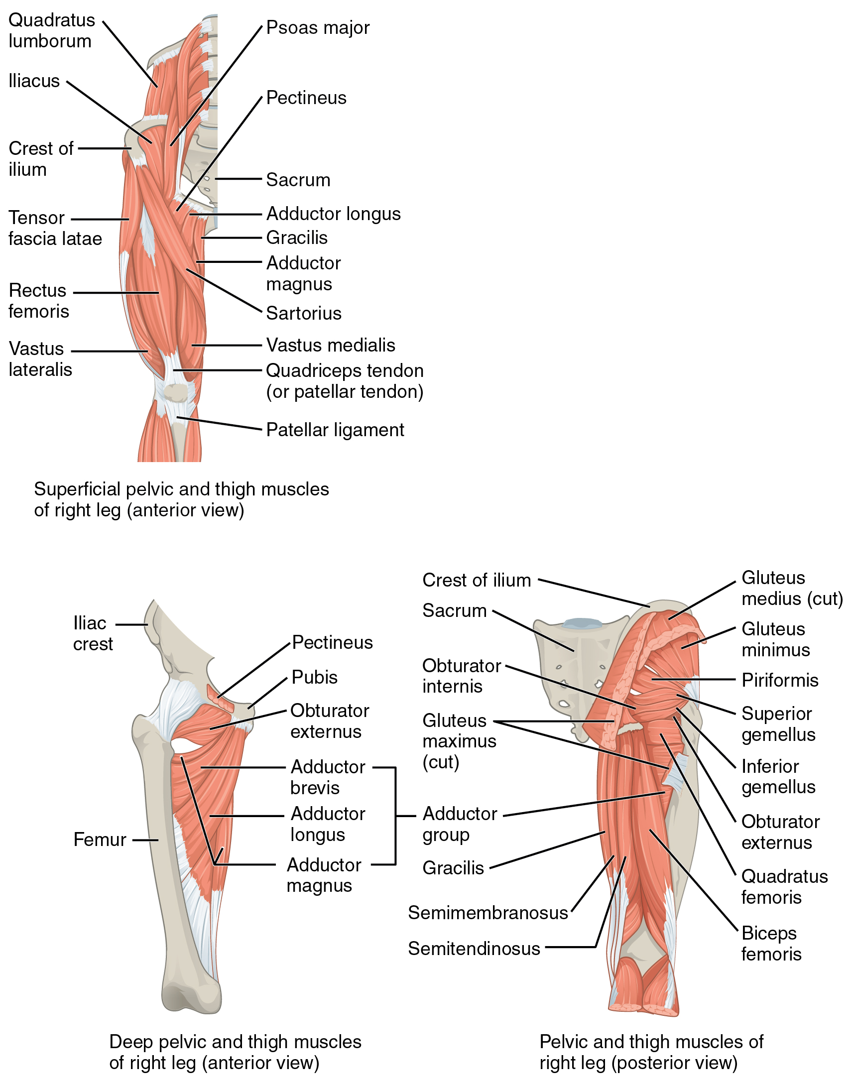 hight resolution of muscles of the thigh