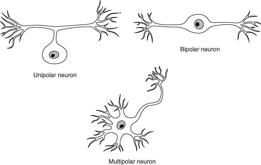 12.2 Nervous Tissue