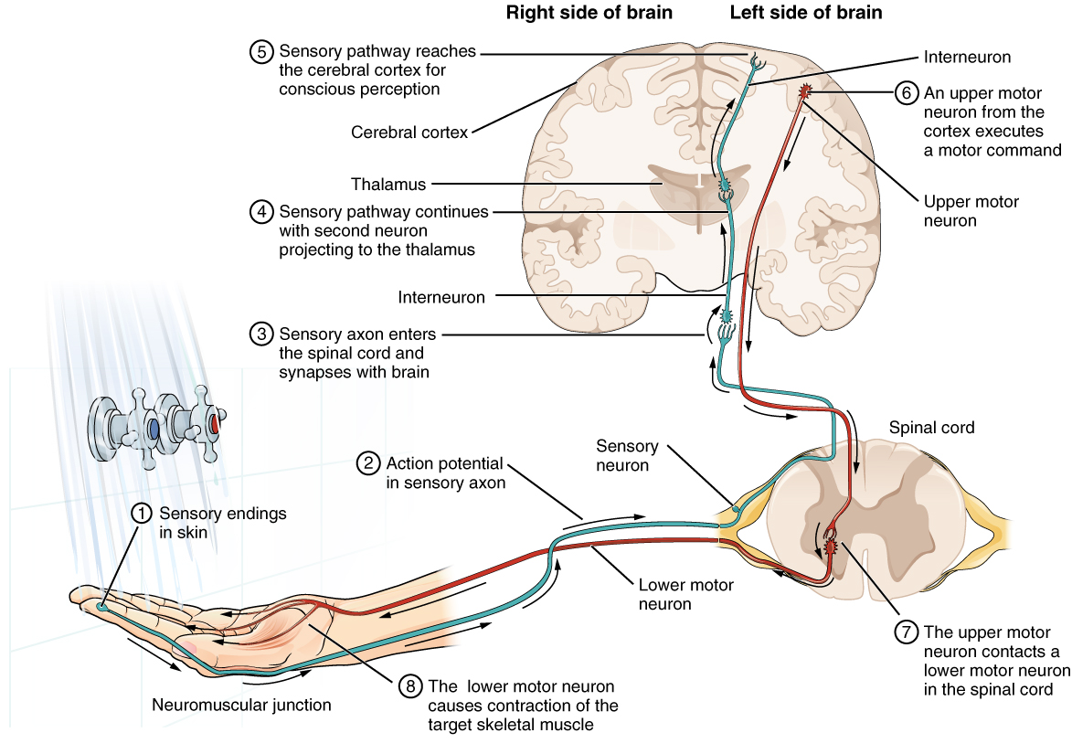 hight resolution of this diagram shows the complete pathway a nerve impulse takes when a person tests the temperature