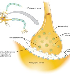 this diagram shows a postsynaptic neuron an axon from a presynaptic neuron is synapsing with [ 1005 x 930 Pixel ]