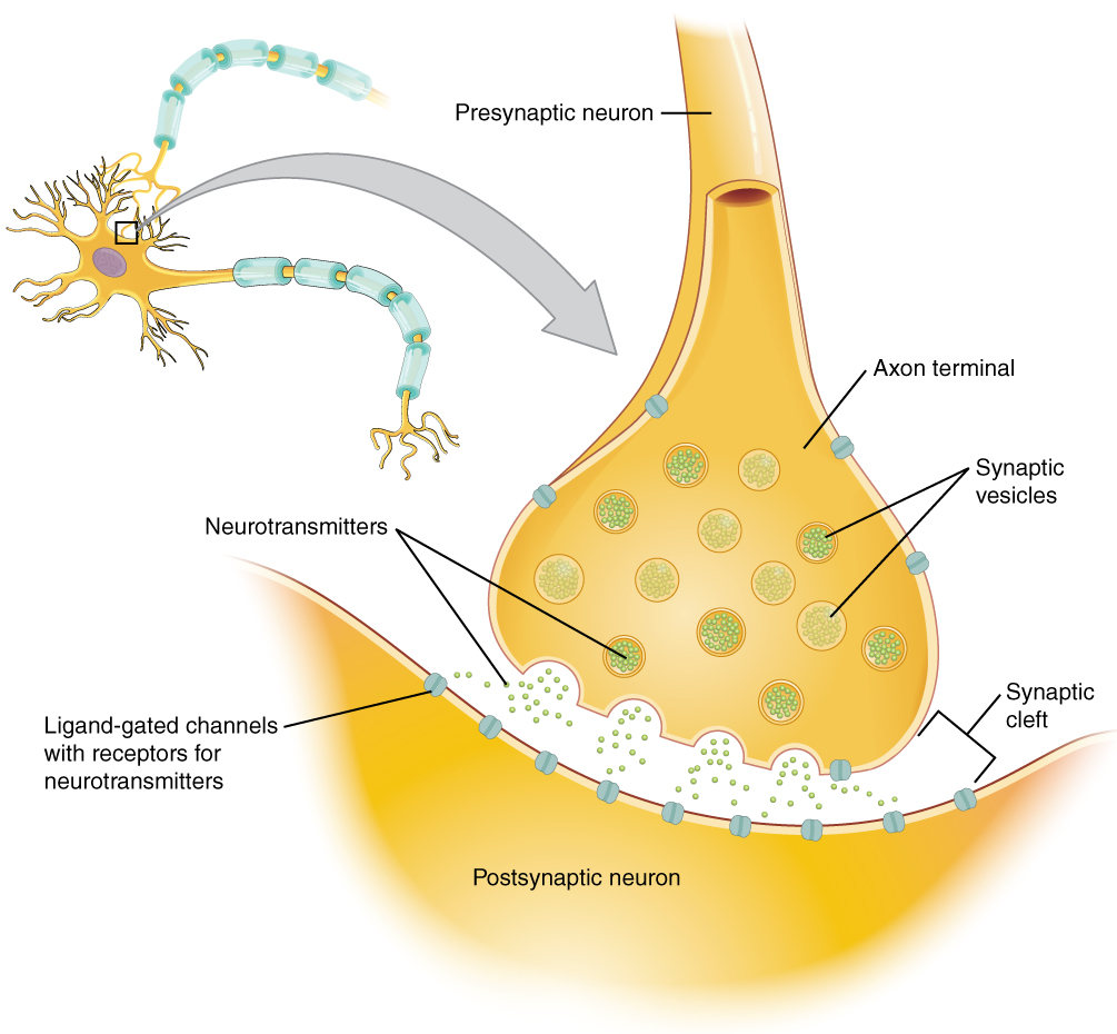 hight resolution of this diagram shows a postsynaptic neuron an axon from a presynaptic neuron is synapsing with