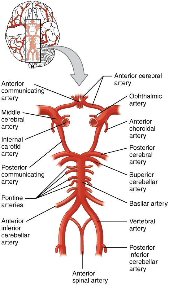 crab anatomy diagram residential electrical wiring example 13.3 circulation and the central nervous system – physiology