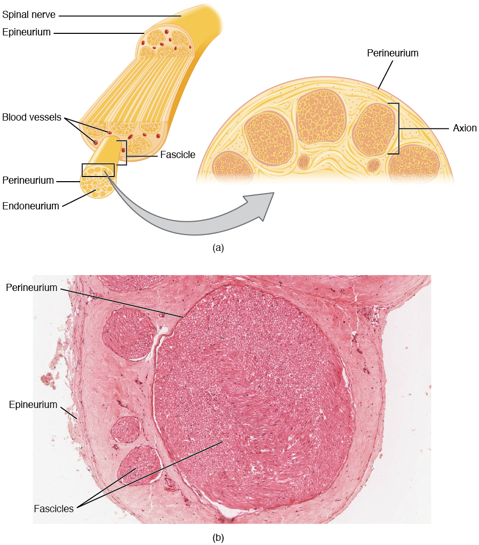 hight resolution of this figure shows the structure of a nerve the top panel shows the cross section