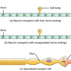 Complete Neuron Cell Diagram M1 Rifle 14 1 Sensory Perception  Anatomy And Physiology
