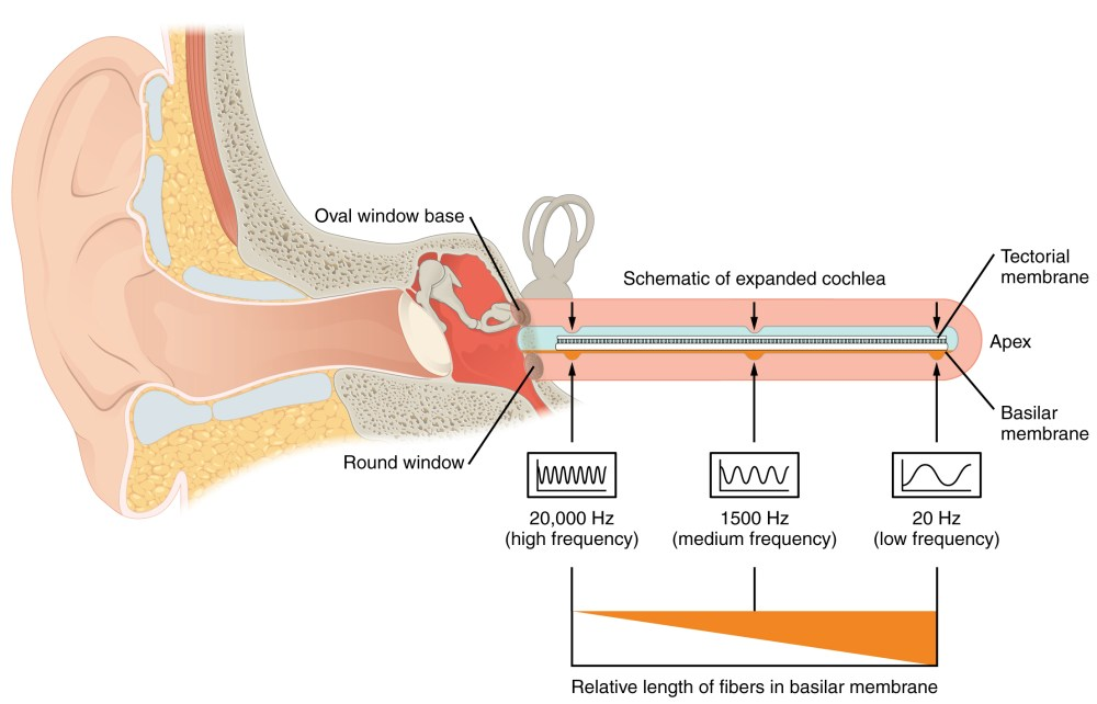medium resolution of this diagram shows how different sound frequencies are coded in the cochlea