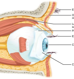 this diagram shows the lateral view of the eye the major parts are labeled  [ 1742 x 1140 Pixel ]