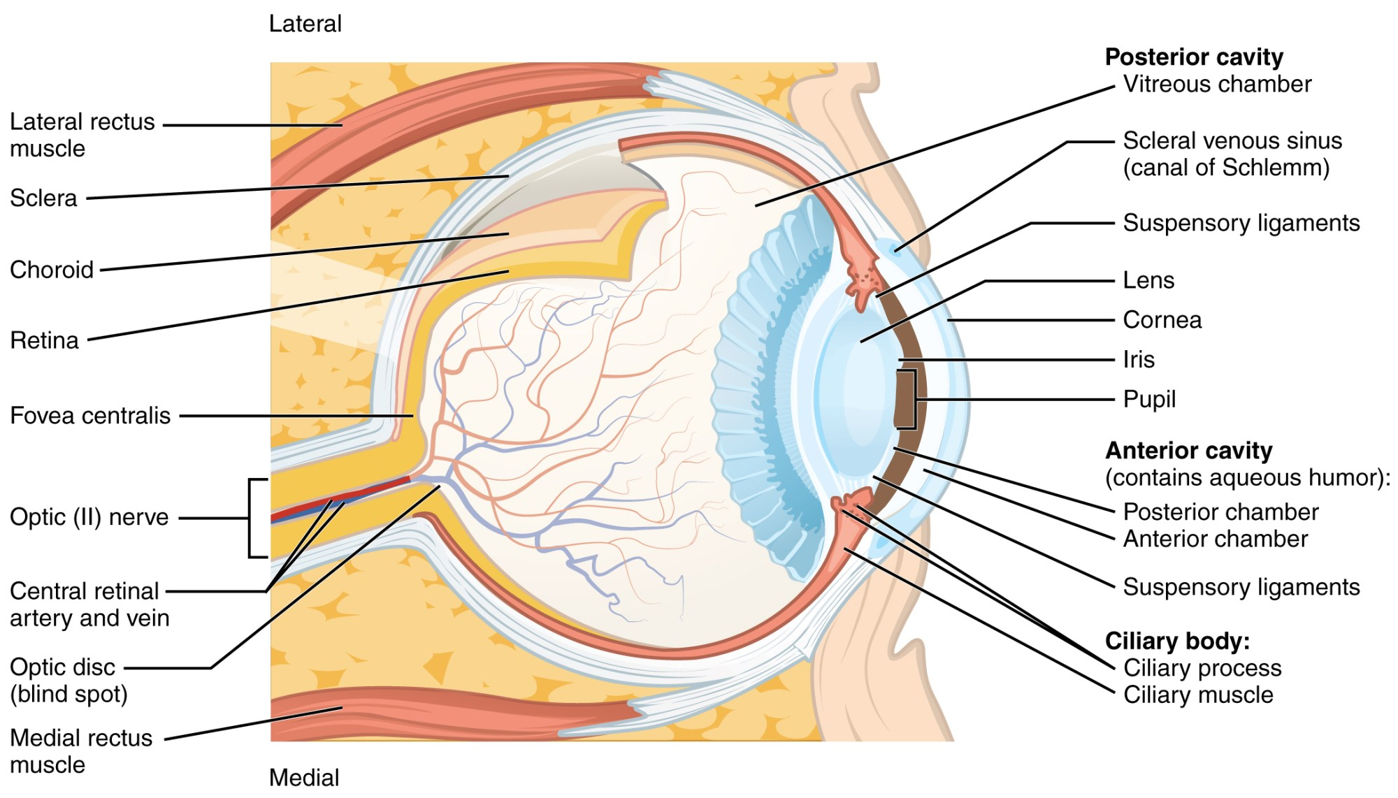 hight resolution of this diagram shows the structure of the eye with the major parts labeled