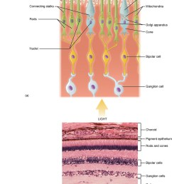 the top panel shows the cellular structure of the different cells in the eye the [ 1050 x 1542 Pixel ]