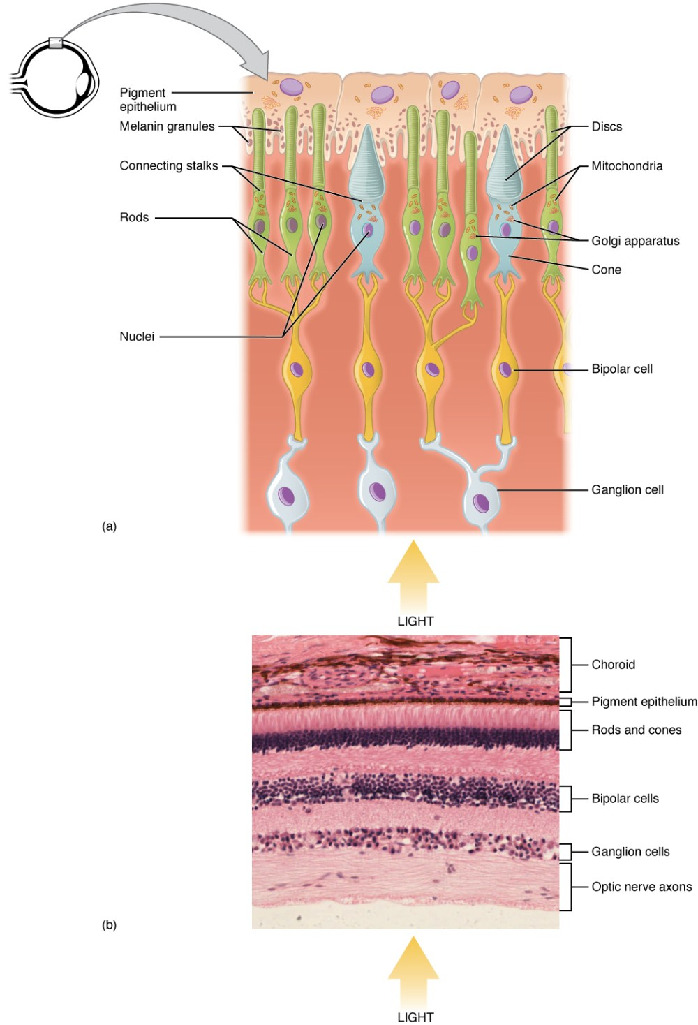 medium resolution of the top panel shows the cellular structure of the different cells in the eye the