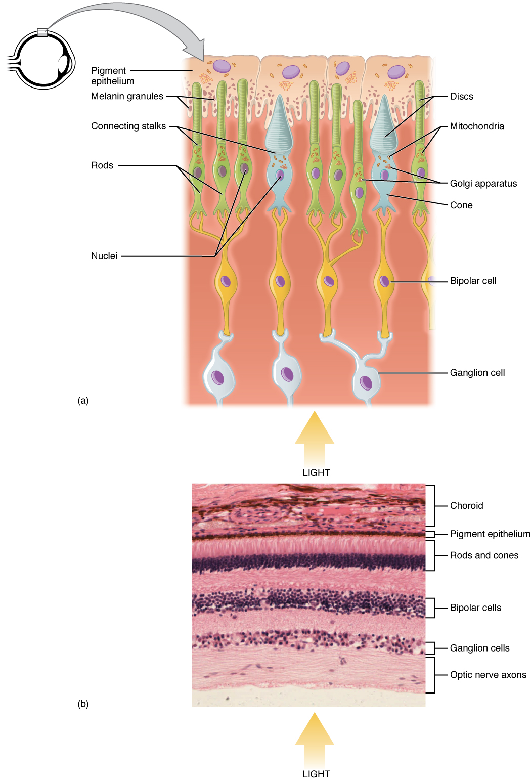 hight resolution of the top panel shows the cellular structure of the different cells in the eye the