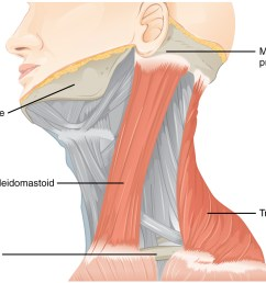 this figure shows the side view of a person s neck with the different muscles labeled  [ 1299 x 1081 Pixel ]