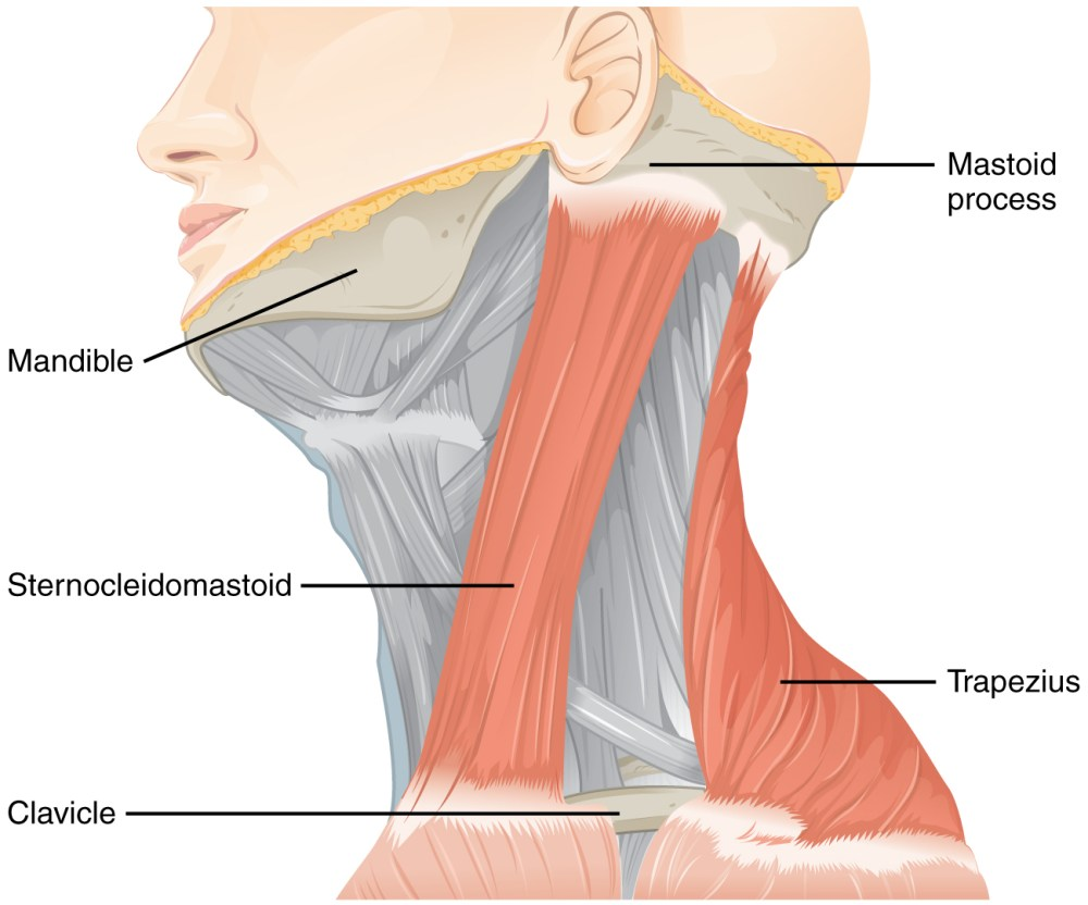 medium resolution of this figure shows the side view of a person s neck with the different muscles labeled