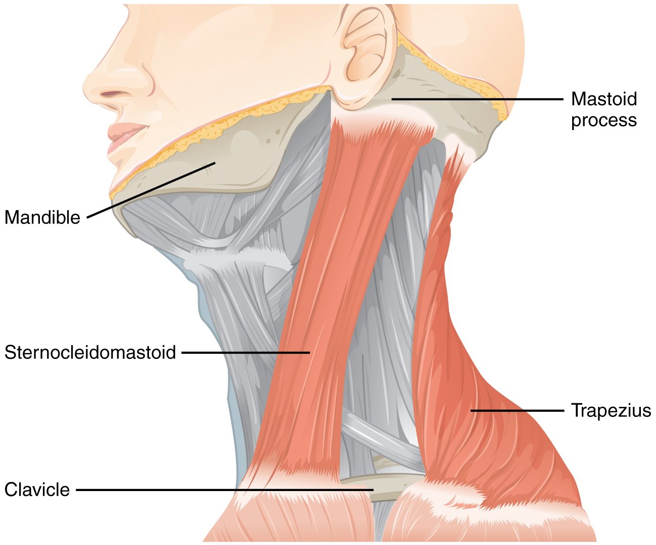 hight resolution of this figure shows the side view of a person s neck with the different muscles labeled