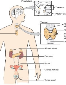 This diagram shows the endocrine glands and cells that are located throughout body also an overview of system  anatomy physiology rh opentextbc