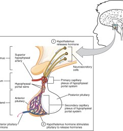 this illustration zooms in on the hypothalamus and the attached pituitary gland the anterior pituitary [ 1154 x 996 Pixel ]
