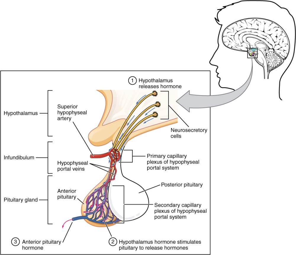 medium resolution of this illustration zooms in on the hypothalamus and the attached pituitary gland the anterior pituitary