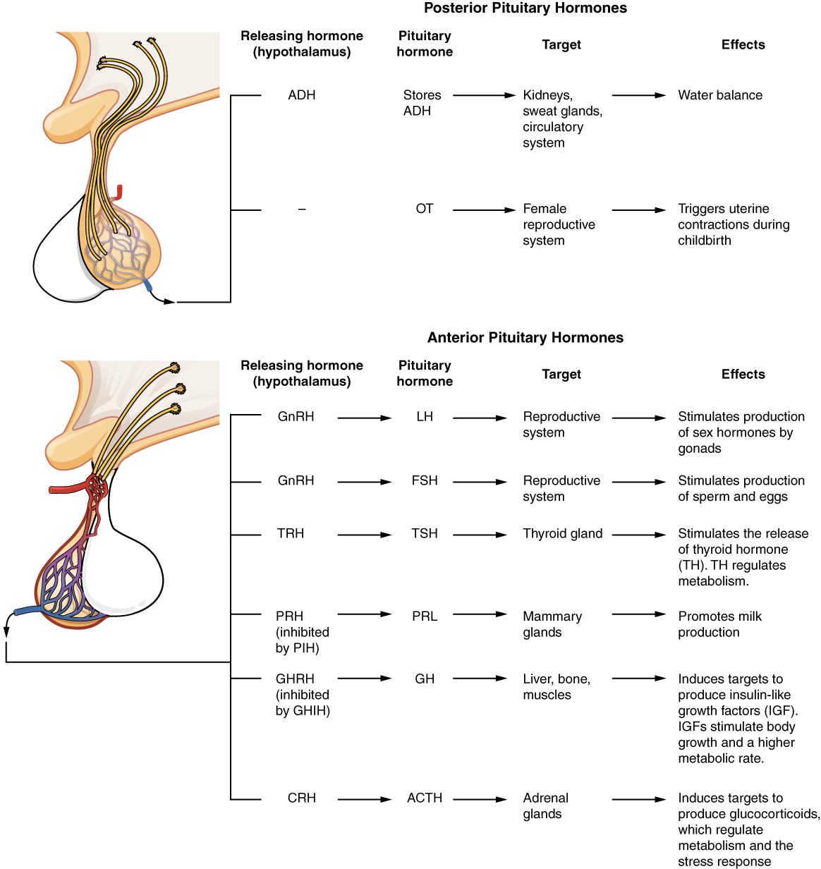 hight resolution of these two diagrammatic tables show the major pituitary hormones their releasing hormone from the hypothalamus