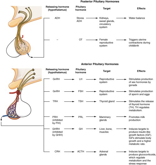 small resolution of these two diagrammatic tables show the major pituitary hormones their releasing hormone from the hypothalamus