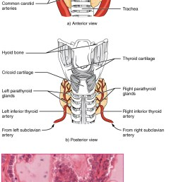 part a of this figure is a diagram of the anterior view of the thyroid gland [ 737 x 1410 Pixel ]