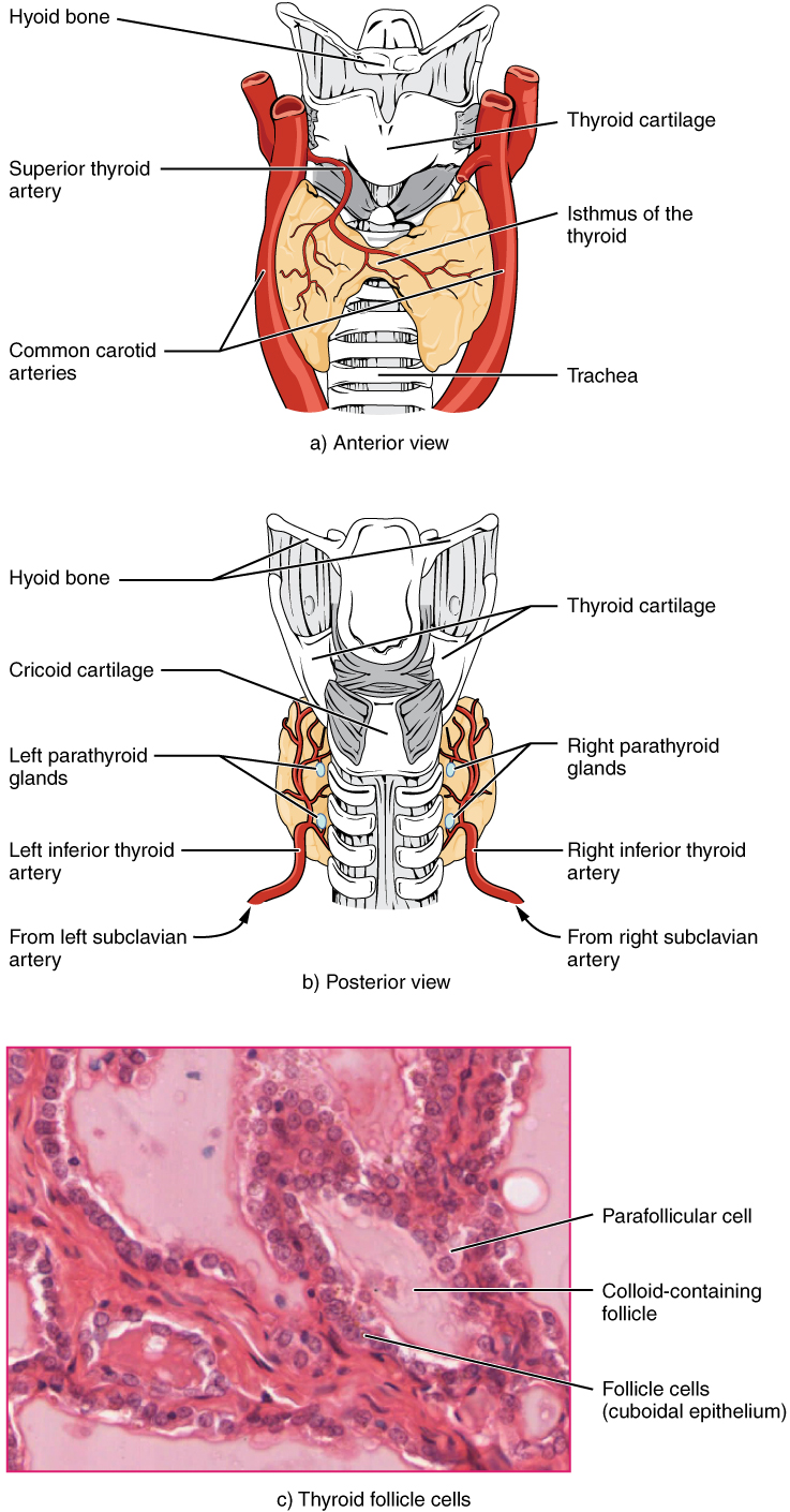 medium resolution of part a of this figure is a diagram of the anterior view of the thyroid gland