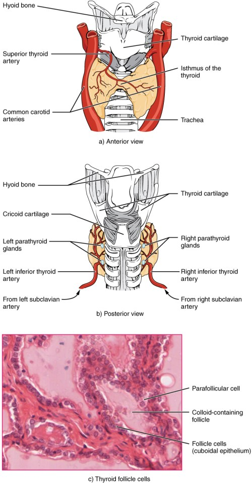small resolution of part a of this figure is a diagram of the anterior view of the thyroid gland
