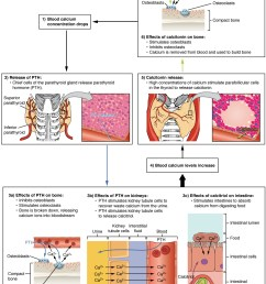 this diagram shows the role of parathyroid hormone in maintaining blood calcium homeostasis when blood [ 1186 x 1425 Pixel ]