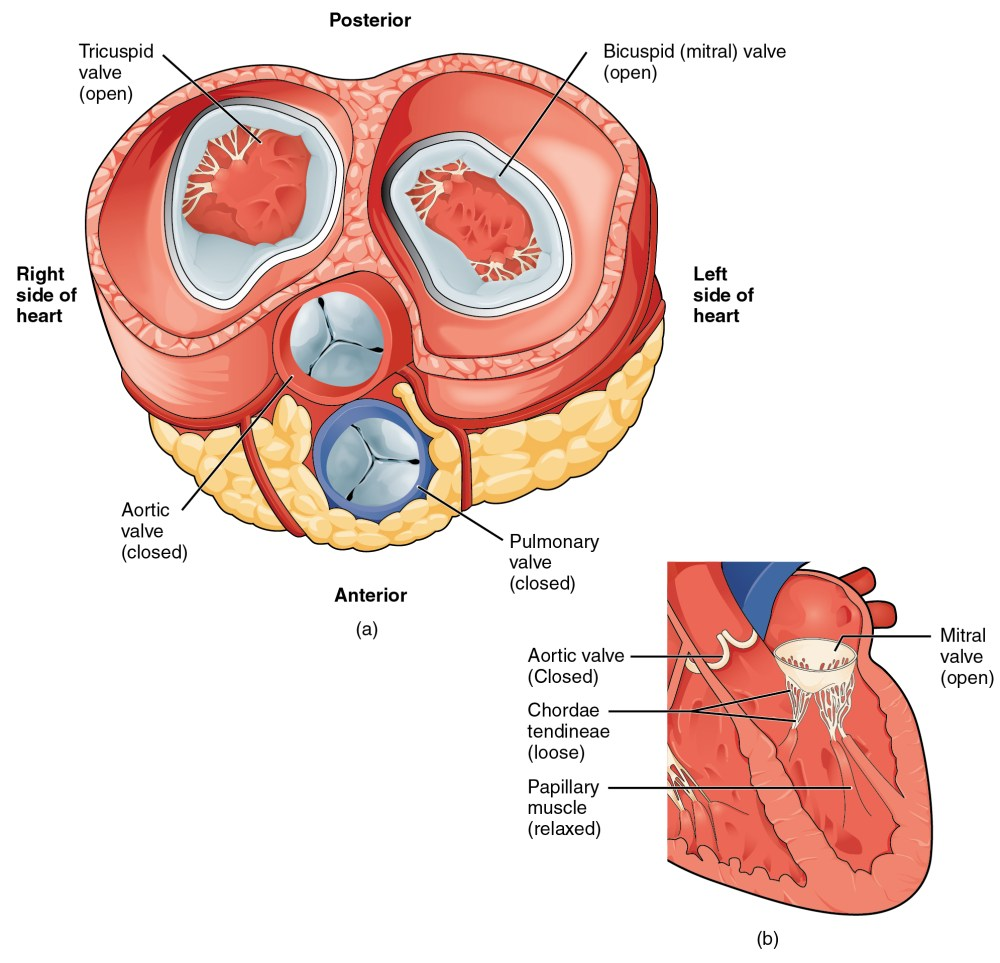 medium resolution of the left panel of this figure shows the anterior view of the heart with the different