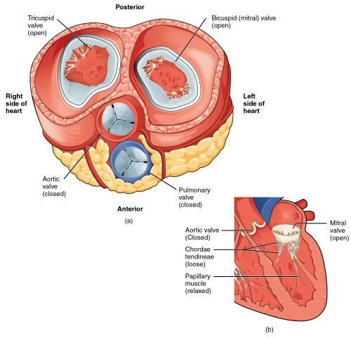small resolution of the left panel of this figure shows the anterior view of the heart with the different