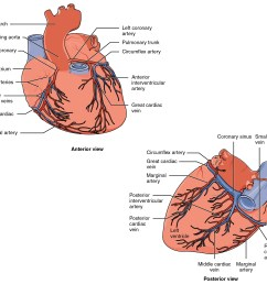 the top panel of this figure shows the anterior view of the heart while the bottom [ 2283 x 2096 Pixel ]