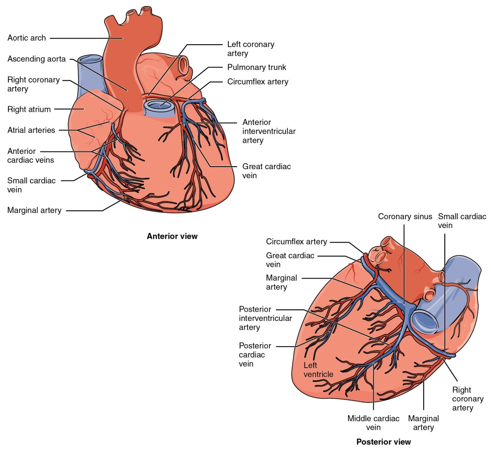 medium resolution of the top panel of this figure shows the anterior view of the heart while the bottom