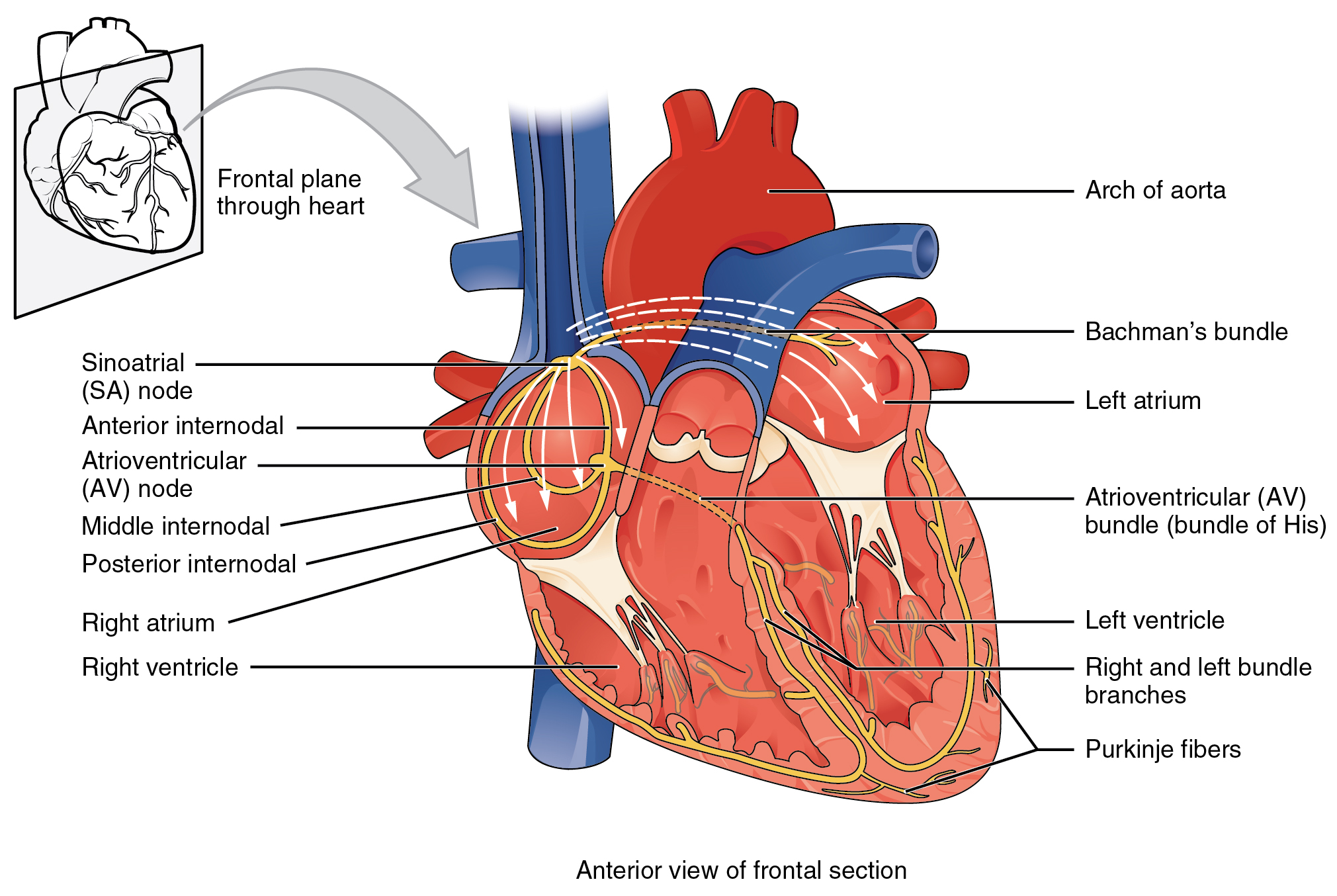 cardiac muscle labeled diagram lewis dot for silicon 19 2 and electrical activity anatomy physiology this image shows the anterior view of frontal section heart with major