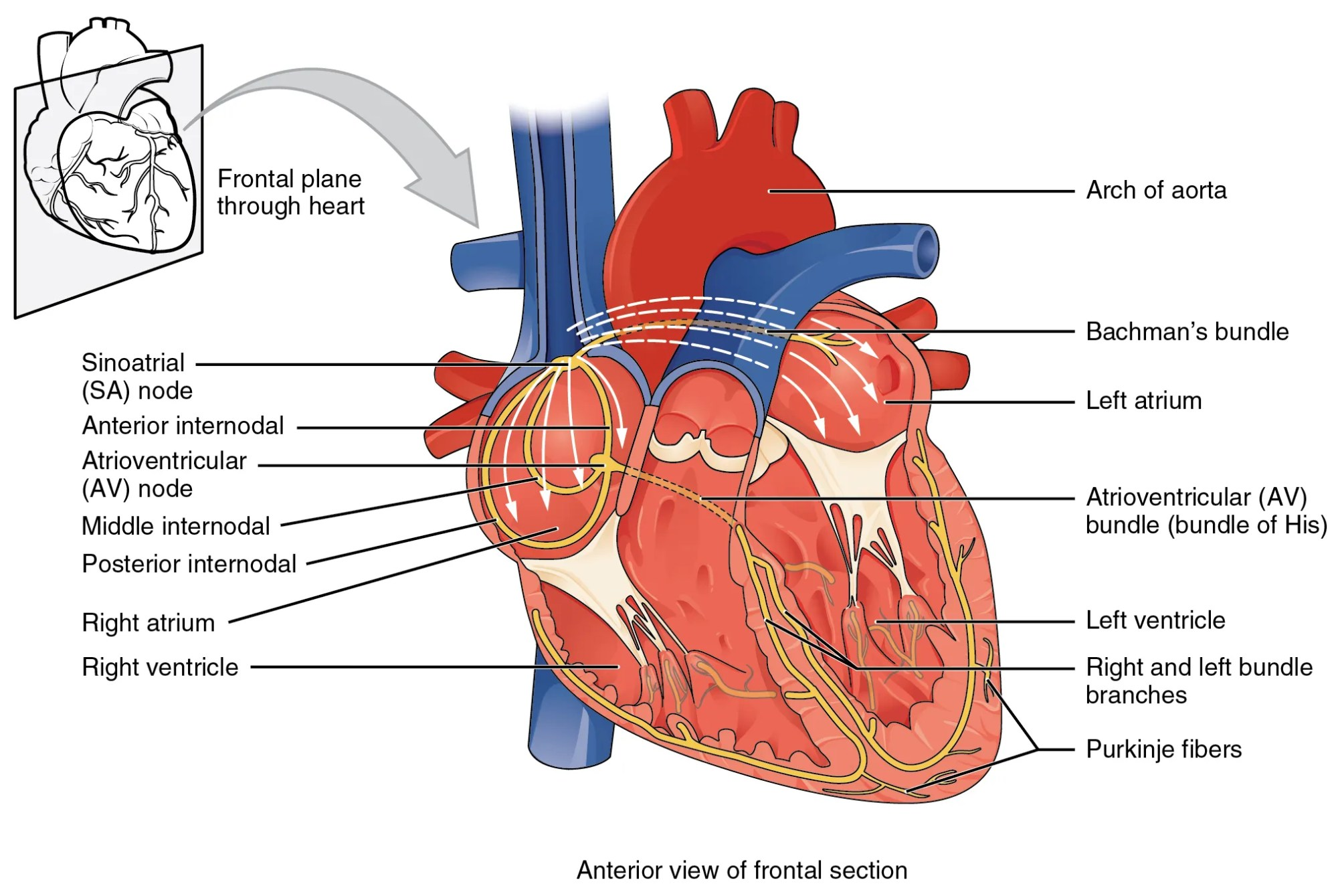 hight resolution of this image shows the anterior view of the frontal section of the heart with the major