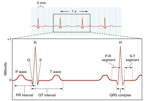small resolution of this figure shows a graph of millivolts over time and the heart cycles during an ecg