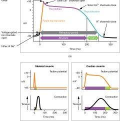 Cardiac Muscle Tissue Diagram Labeled 4 Pin Aviation Connector Wiring 19 2 And Electrical Activity Anatomy Physiology The Top Panel Of This Figure Shows Millivolts As A Function Time With Various