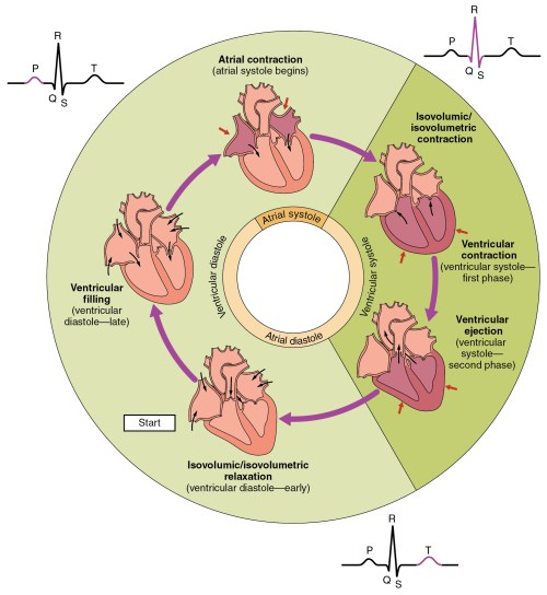 small resolution of this pie chart shows the different phases of the cardiac cycle and details the atrial and