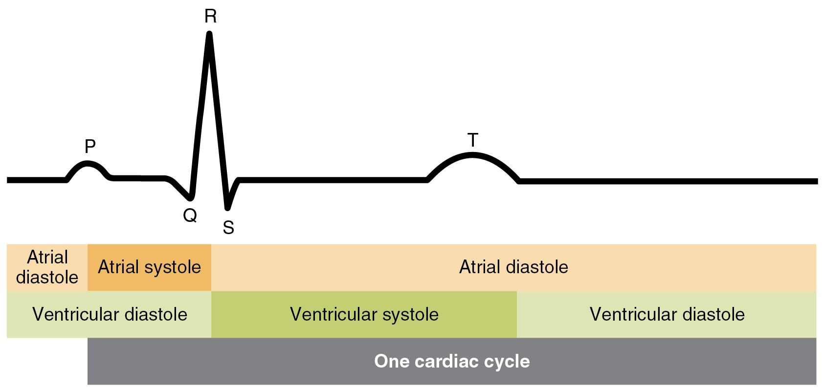 hight resolution of this image shows the correlation between the cardiac cycle and the different stages in a electrocardiogram