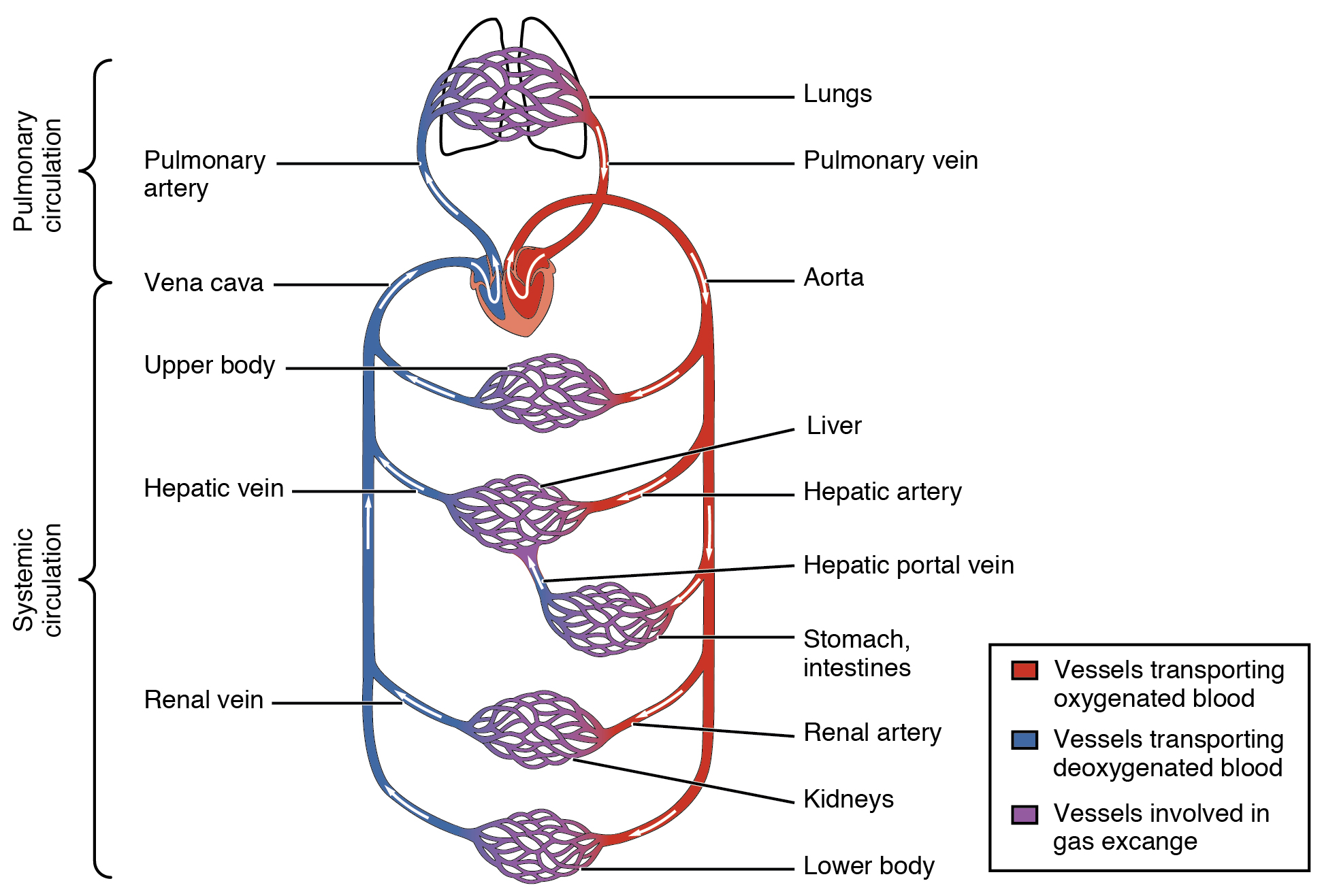 match the letters on diagram of human brain 2002 jeep liberty exhaust system 20 1 structure and function blood vessels  anatomy