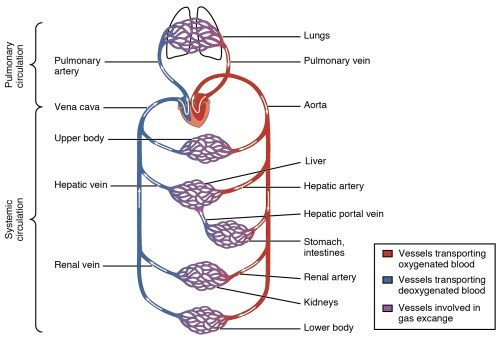 small resolution of this diagram shows how oxygenated and deoxygenated blood flow through the major organs in the body